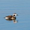 Female Long-Tailed Duck