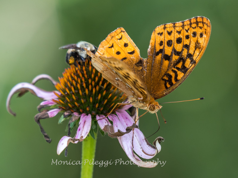 Butterflies and Bees 29 July 2018-2894-2