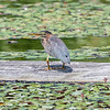 Flowers and Green Heron 29 July 2018-2935-2