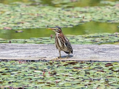Flowers and Green Heron 29 July 2018-2942-2