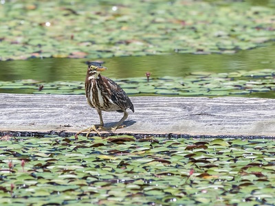 Flowers and Green Heron 29 July 2018-2941-2