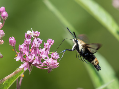 Hummingbird Moth 29 July 2018-3026-2