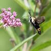Hummingbird Moth 29 July 2018-3018-2