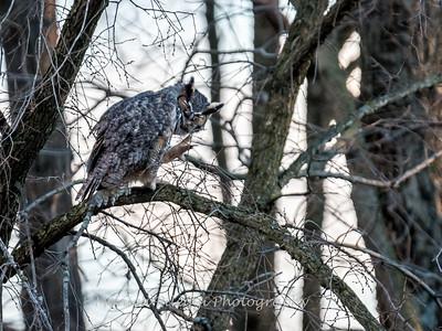 Great Horned Owl-6466