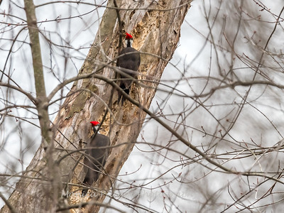 Pileated Woodpecker-6379
