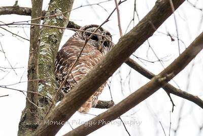 Barred Owl6219