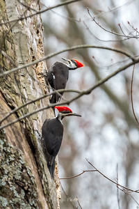Pileated Woodpecker-6320