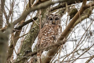 Barred Owl6233