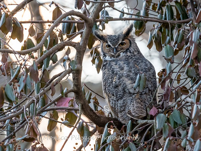 Great Horned Owl-6427