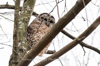 Barred Owl6222