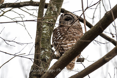 Barred Owl6209