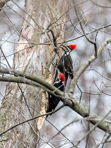 Pileated Woodpecker-6261