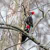 Pileated Woodpecker-6261