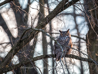 Great Horned Owl-6437