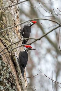 Pileated Woodpecker-6321