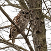 Barred Owl6241