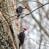 Pileated Woodpecker-6345