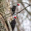 Pileated Woodpecker-6317