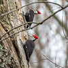 Pileated Woodpecker-6314