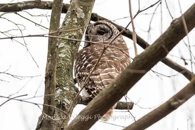 Barred Owl6214