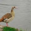 Egyptian Goose, Alopochen aegyptiaca
