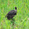 Horned Screamer, Anhima cornuta