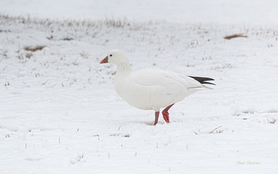 Ross's Goose, Anser rossii
