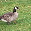 Cackling Goose, Branta hutchinsii