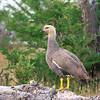 Upland Goose, Chloephaga picta