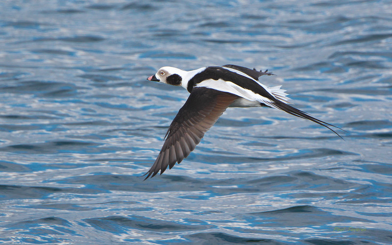 Long-tailed Duck, Clangula hyemalis