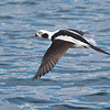 Long-tailed Duck, Clangula hyemalis