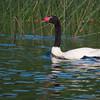 Black-necked Swan, Cygnus melancoryphus