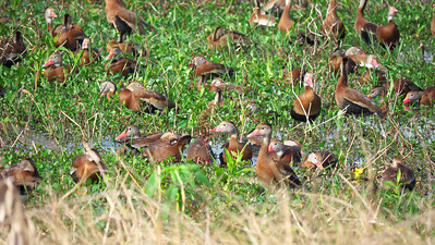 Black-bellied Whistling-Duck, Dendrocygna autumnalis