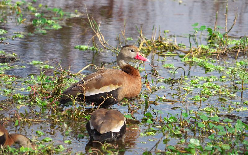 Black-bellied Whistling-Duck, Dendrocygna autumnalis