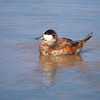 Ruddy Duck, Oxyura jamaicensis