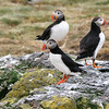 Atlantic Puffin, Fratercula arctica, Breidafjordur Islands, Iceland