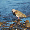 Southern Lapwing, Vanellus chilensis