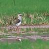 Andean Lapwing, Vanellus resplendens