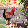 Red Junglefowl, Gallus gallus,