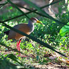 Russet-naped Wood-Rail, Aramides albiventris