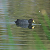 Slate-colored Coot, Fulica ardesiaca