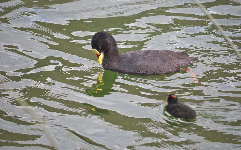 Red-gartered Coot, Fulica armillata