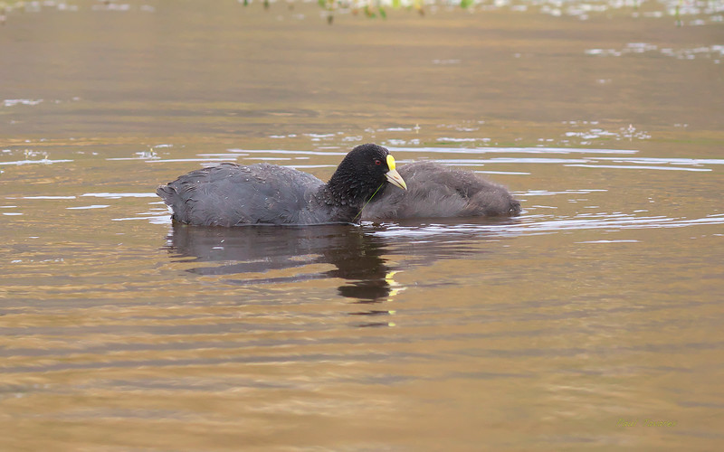 White-winged Coot, Fulica leucoptera