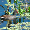Common Gallinule, Gallinula galeata