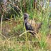 Plumbeous Rail, Pardirallus sanguinolentus