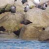 Black Oystercatcher, Haematopus bachmani