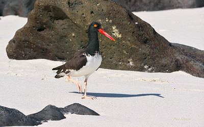 Sandpipers to Terns