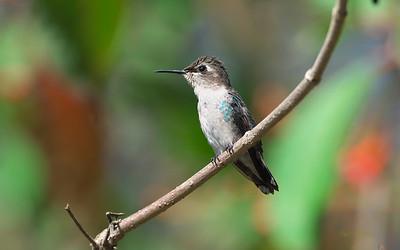 Bee Hummingbird, Mellisuga helenae
