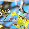 Vervain Hummingbird, Mellisuga minima