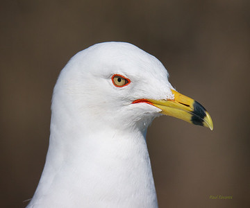 Skuas, Auks, Gulls, Terns